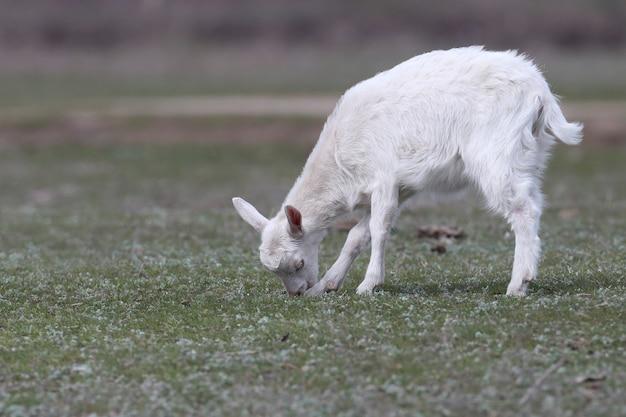 若いヤギとその母親の面白い写真