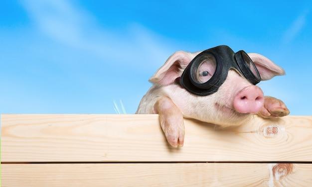울타리에 매달려 재미있는 돼지. 스튜디오 사진입니다. .