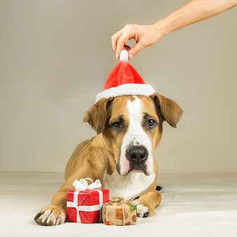 Funny pitbull puppy poses with surprise new year gifts, human hands puts christmas hat on his head