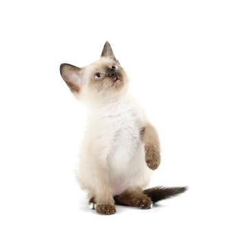 分離された面白い遊び心のあるシャムの子猫
