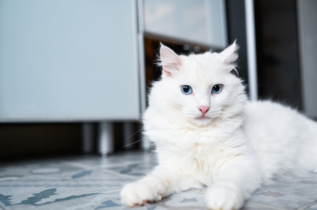 Funny playful white cat with blue eyes
