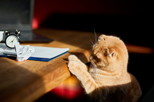 日光の下、自宅の職場でオフィスの机の上でしわくちゃの紙のボールで遊ぶ面白い遊び心のある猫。