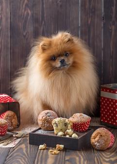 Смешная померанская собака с удовольствиями на деревянном столе. пушистая собака поморская собака с кексами