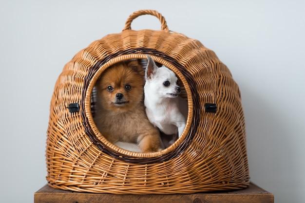Забавный щенок померанский с щенком чихуахуа, глядя из дома собаки