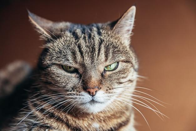 Забавный портрет высокомерного короткошерстного домашнего полосатого кота позирует на темно-коричневом фоне