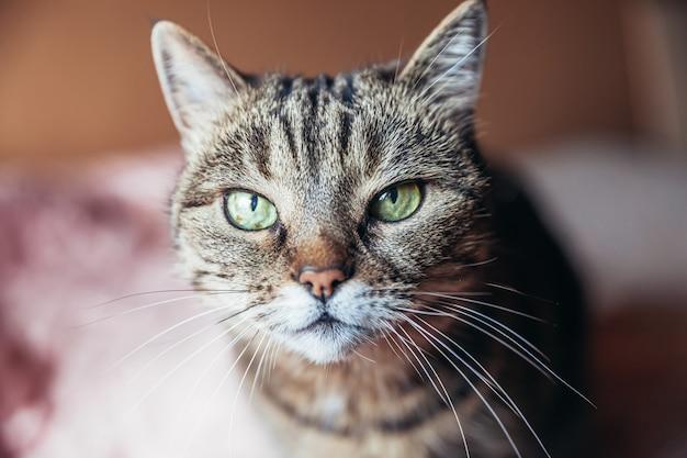 Забавный портрет высокомерного короткошерстного домашнего полосатого кота отдыхающего дома