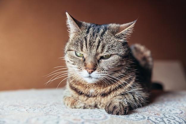 Забавный портрет высокомерного короткошерстного домашнего полосатого кота, расслабляющегося дома