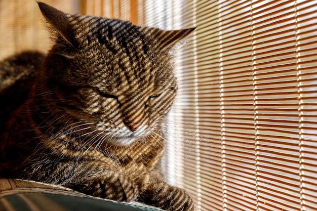 재미 있은 초상화 오만한 짧은 머리 국내 얼룩 고양이 실내 집에서 블라인드 근처 휴식. 작은 새끼 고양이 집에서 노는 가족의 사랑스러운 구성원. 애완 동물 관리 건강 및 동물 개념.
