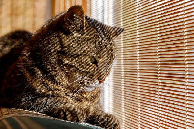 Забавный портрет высокомерного короткошерстного домашнего полосатого кота, расслабляющегося возле жалюзи дома в помещении