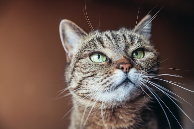 Забавный портрет высокомерного короткошерстного домашнего полосатого кота на темно-коричневом фоне
