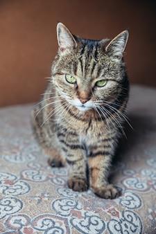 面白い肖像画傲慢な短髪の国内のぶち猫が自宅で屋内でリラックス