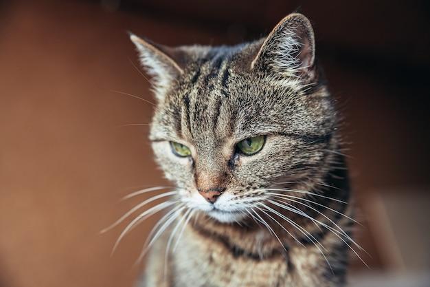 Забавный портрет высокомерного короткошерстного домашнего полосатого кота, расслабляющегося дома в помещении