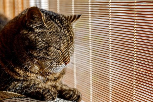 Забавный портрет высокомерного короткошерстного домашнего полосатого кота, расслабляющегося возле жалюзи дома в помещении. l