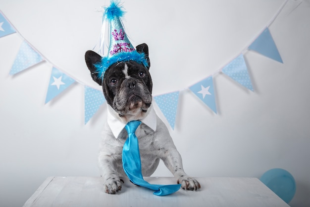 Funny portrait of cute french bulldog with birthday hat and blue tie over white