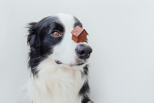 Funny portrait of cute puppy dog border collie holding miniature toy model house on nose, isolated on white