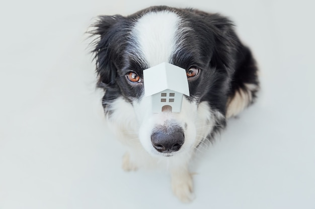 Funny portrait of cute puppy dog border collie holding miniature toy model house on nose