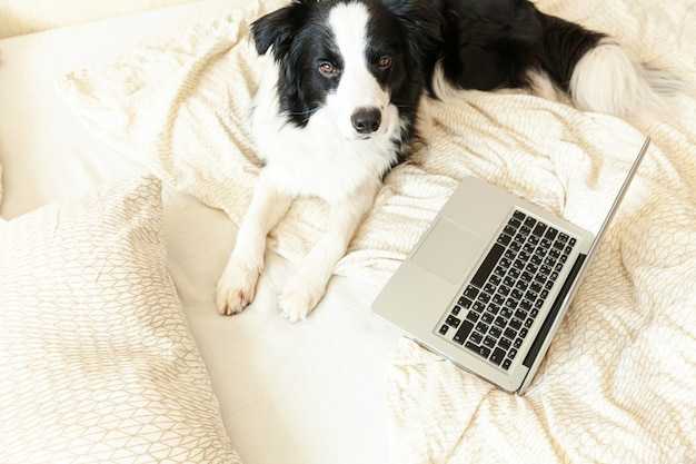 面白い肖像画かわいい子犬犬ボーダーコリーベッドの上の作業サーフィンラップトップを使用してインターネットを閲覧