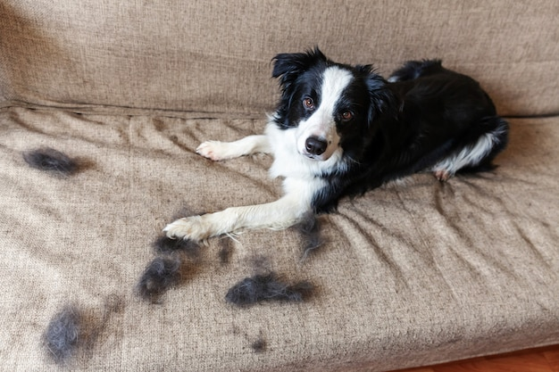 Funny portrait of cute puppy dog border collie with fur in moulting lying down on couch. furry little dog and wool in annual spring or autumn molt at home indoor. pet hygiene allergy grooming concept.