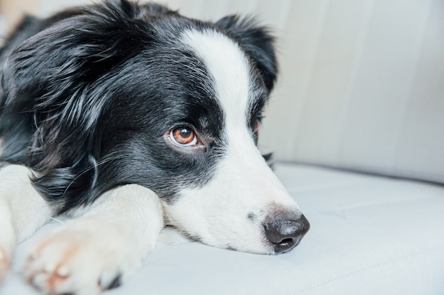 Funny portrait of cute smiling puppy dog border collie on couch indoors. new lovely member of family little dog at home gazing and waiting. pet care and animals concept