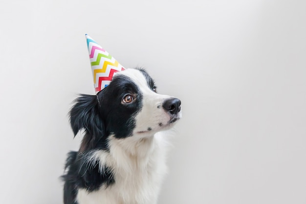 Funny portrait of cute smiling puppy dog border collie wearing birthday silly hat looking at camera isolated on white wall. happy birthday party concept. funny pets animals life.