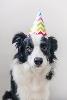 Funny portrait of cute smiling puppy dog border collie wearing birthday silly hat looking at camera isolated