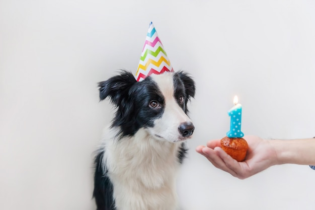 Funny portrait of cute smiling puppy dog border collie wearing birthday silly hat looking at cupcake holiday cake with number one candle isolated on white wall. happy birthday party concept.