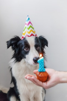 Funny portrait of cute smiling puppy dog border collie wearing birthday silly hat looking at cupcake holiday cake with number one candle isolated on white