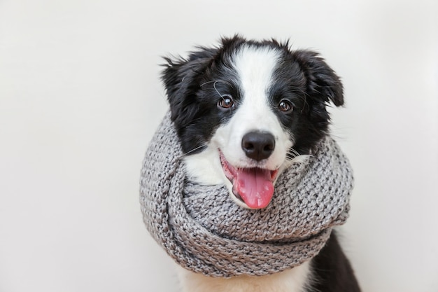 Funny portrait of cute smiling puppy dog border collie wearing a scarf around neck
