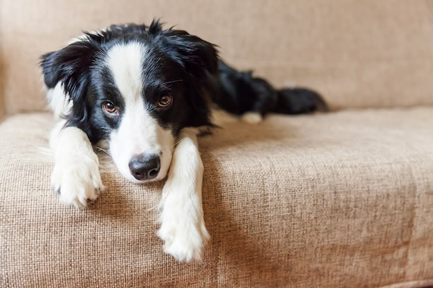 Funny portrait of cute smilling puppy dog border collie on couch.
