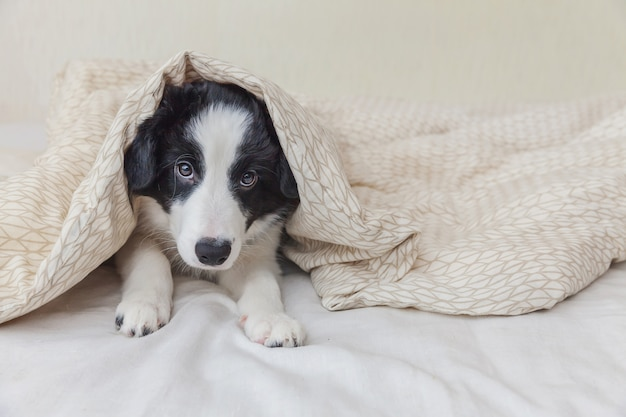 Funny portrait of cute smilling puppy dog border collie lay on pillow blanket in bed at home