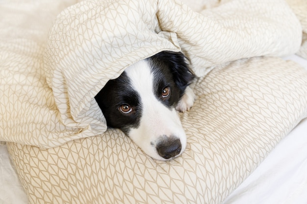Funny portrait of cute smilling puppy dog border collie lay on pillow blanket in bed