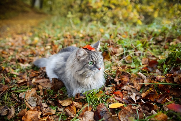 Забавный портрет пушистого серого кота с зелеными глазами на открытом воздухе в лесу.