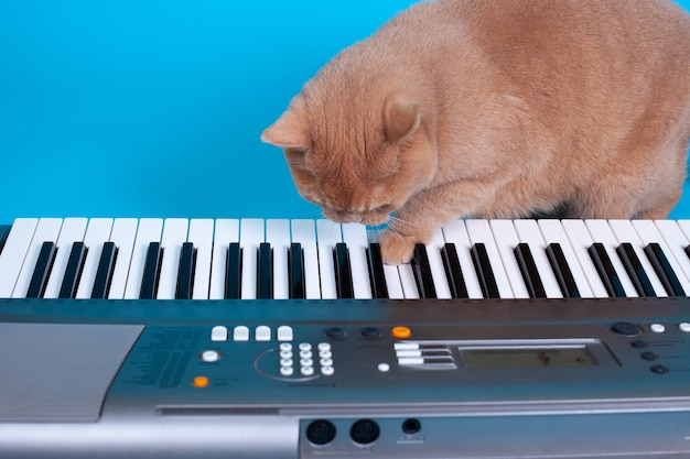 Забавный портрет рыжего шотландского кота, играющего лапой на клавишах синтезатора