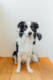 Забавный портрет милого щенка бордер-колли, держащего во рту кухонную ложку, на белом у себя дома в помещении