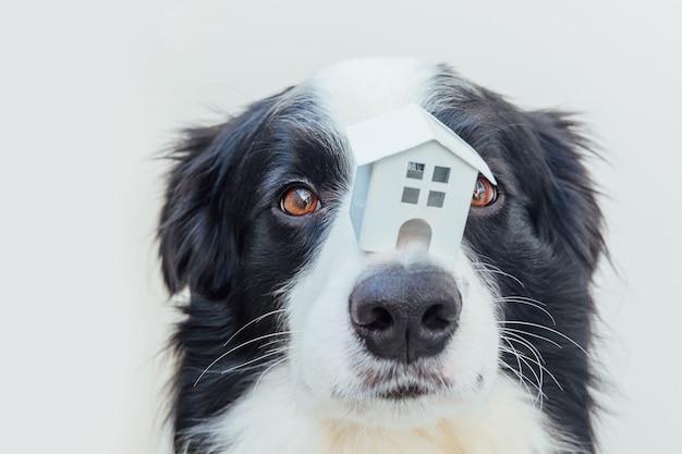 Забавный портрет милого щенка бордер-колли, держащего миниатюрный игрушечный модельный дом на носу, изолированном на белом фоне. концепция приюта для собак в ипотеке