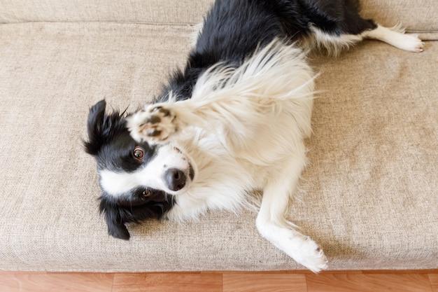Забавный портрет милого щенка бордер-колли на диване у себя дома в помещении