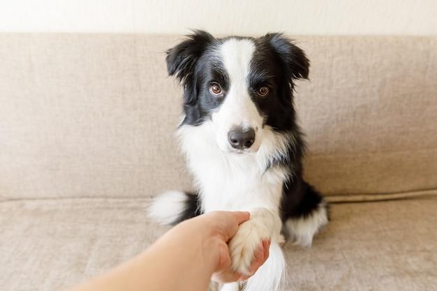 Забавный портрет милого щенка бордер-колли на диване, пожимая лапу