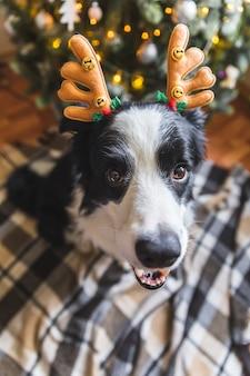 Забавный портрет симпатичного щенка бордер-колли в рождественском костюме в шляпе с оленьими рогами возле рождества ...
