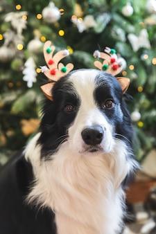 Забавный портрет милого щенка бордер-колли в рождественском костюме в шляпе с рогами оленя возле елки дома в помещении. подготовка к празднику. счастливого рождества концепции.