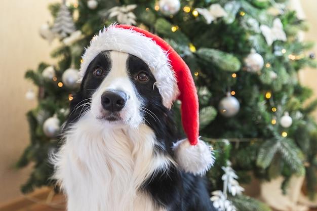 Забавный портрет милого щенка бордер-колли в новогоднем костюме в красной шапке санта клауса рядом с ...