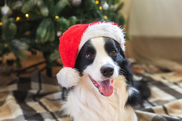 Забавный портрет милого щенка бордер-колли в новогоднем костюме красной шляпе санта-клауса возле елки дома в помещении. подготовка к празднику. счастливого рождества концепции.