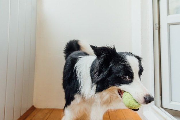 Забавный портрет милого улыбающегося щенка бордер-колли с игрушечным мячом во рту
