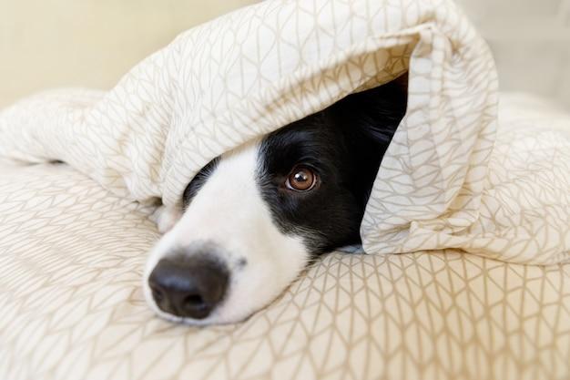 Забавный портрет милого улыбающегося щенка бордер-колли лежал на подушке-одеяле в постели