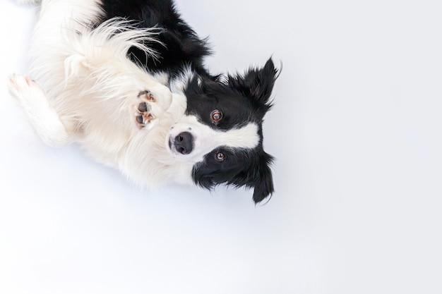 白い背景で隔離の横になっているかわいい笑顔の子犬犬ボーダーコリーの面白い肖像画。カメラを見て、報酬を待っている変な顔のペットの犬。面白いペット動物の生活の概念。