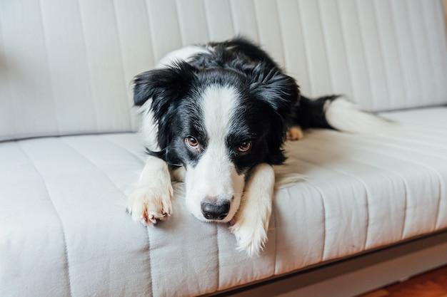 室内のソファの上のかわいい笑顔の子犬犬ボーダーコリーの面白い肖像画。家族の新しい素敵なメンバーが自宅で小さな犬を見つめて待っています。ペットの世話と動物のコンセプト
