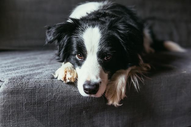 Забавный портрет милого улыбающегося щенка бордер-колли на диване в помещении