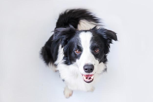 白い背景で隔離のかわいい笑顔の子犬犬ボーダーコリーの面白い肖像画。カメラを見て、報酬を待っている変な顔のペットの犬。面白いペット動物の生活の概念。