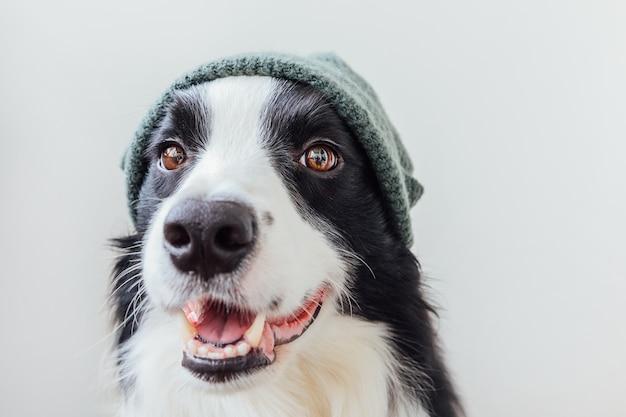 Забавный портрет милого улыбающегося щенка бордер-колли в теплой вязаной шапке на белом фоне. зимний или осенний портрет нового милого члена семьи маленькой собачки.