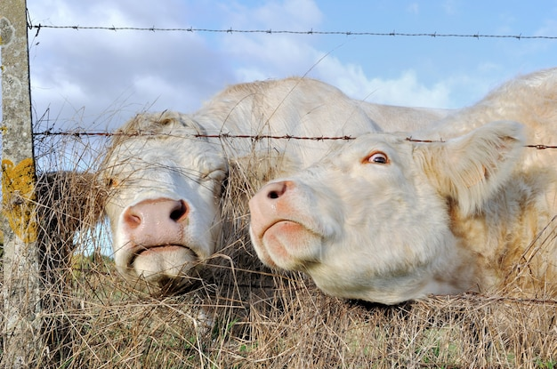 Funny portraits of cows