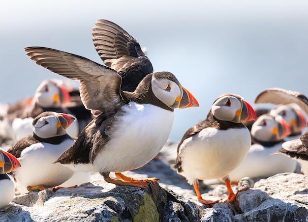 面白いツノメドリが北海、ノーサンバーランド、英国のファーン諸島の崖で彼の翼を乾燥させています